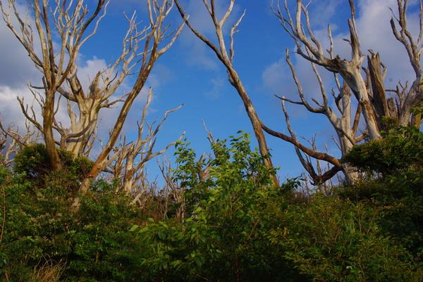 白骨化した樹木
