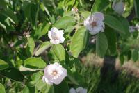 マルメロの花1