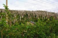 泥流により立ち枯れた樹木